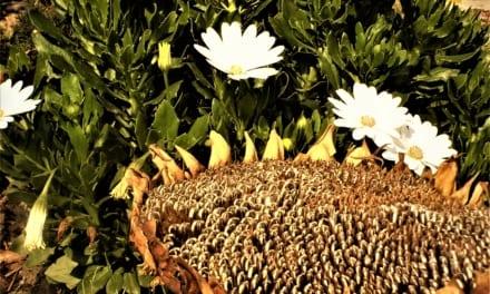 Krmítko pro ptáčky ze slunečnice
