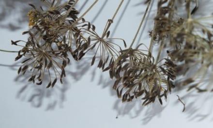 Semínka kopru z vlastní zahrádky (a zadarmo)